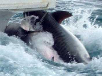 イタチザメの画像 p1_36