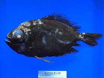 素人が作ったお魚図鑑|魚の分類...