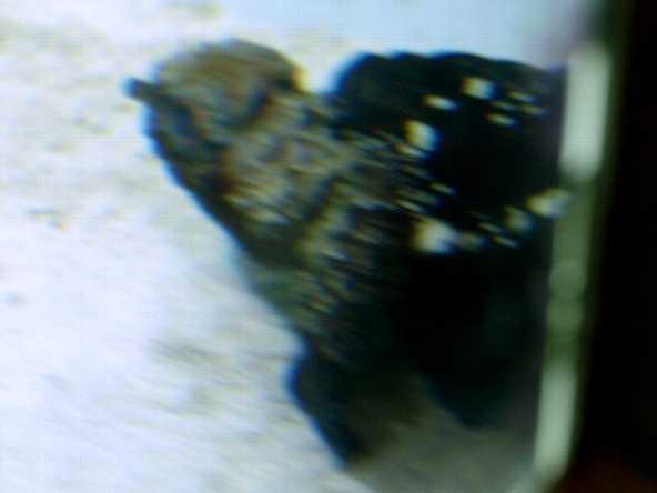 ... ハオコゼ科Glyptauchen属ゴブリン