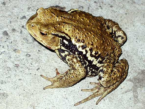 ニホンヒキガエルの画像 p1_9