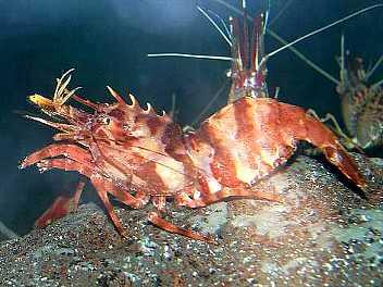 イバラモエビ ホッコクアカエビ モロトゲアカエビ Lebbeus gr... 深海の生物・極海の
